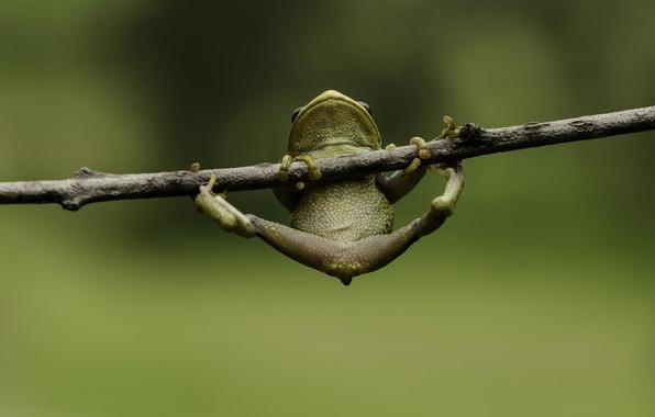 Картинка макро, зеленый, фон, лягушка, лапки, ветка, висит