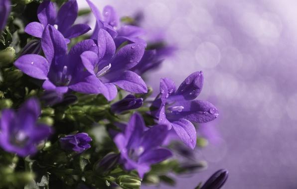 Картинка капли, макро, цветы, блики, растение, обработка, размытость, фиолетовые, колокольчики, сиреневые