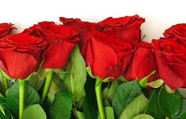 Картинка цветок, листья, цветы, природа, розы, букет, лепестки, красные, бутоны