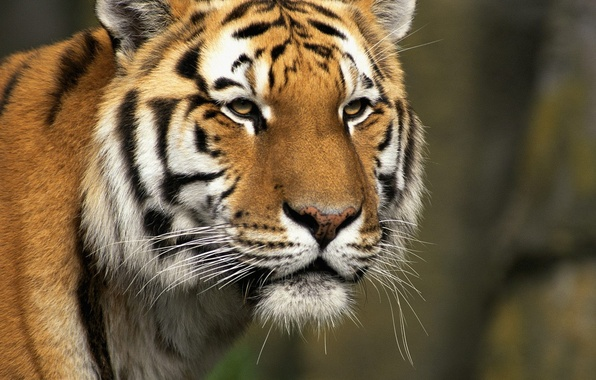 Тигр хищик зверь обои фото картинки