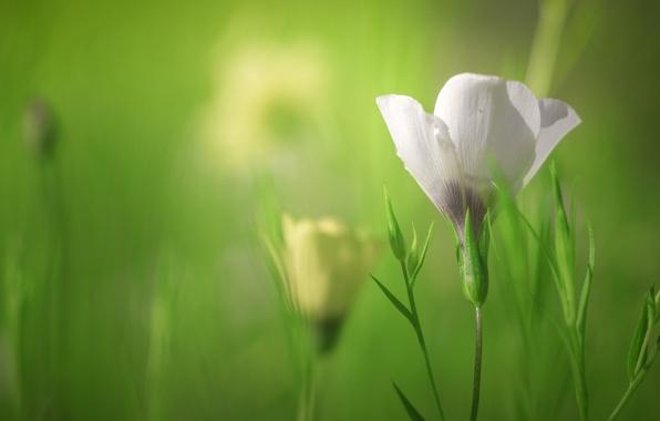 Картинка белый, трава, макро, боке