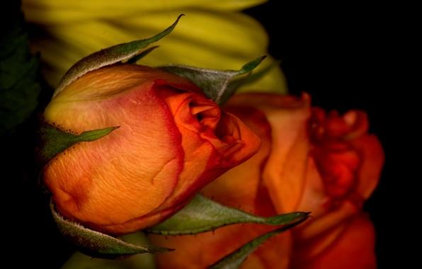 Картинка природа, роза, лепестки, бутон