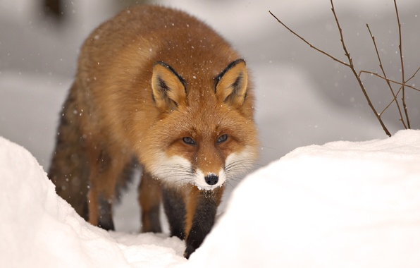Картинка зима, снег, природа, животное, лиса, зверь, fox, winter, snow, animal