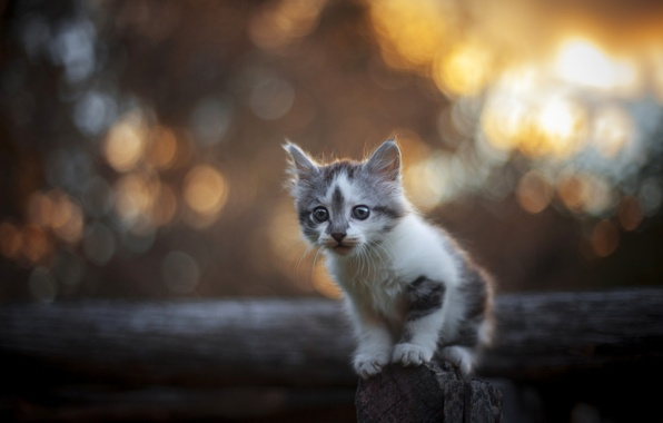 Картинка взгляд, малыш, котёнок, боке