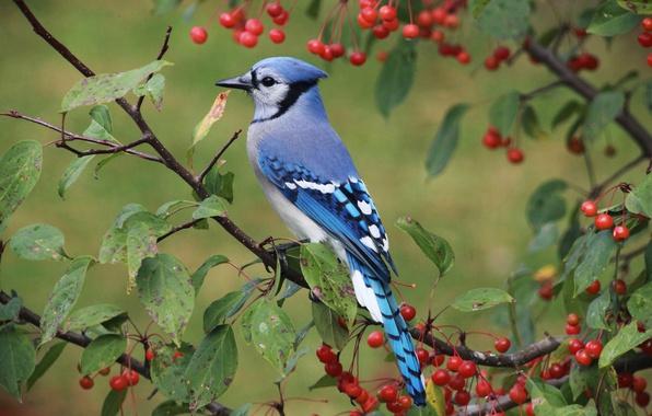 Фото обои листья, ветки, птица, яблоня, Голубая сойка, яблочки