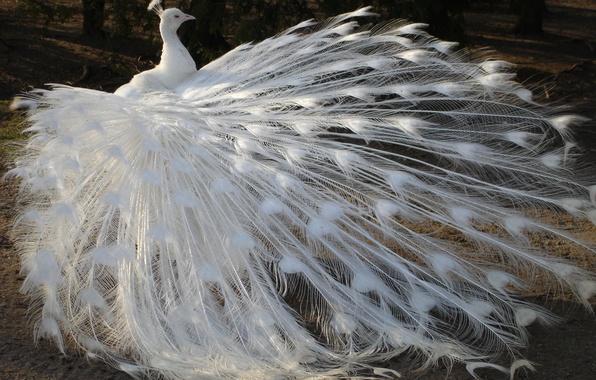 Картинка белый, птица, перья, хвост, павлин, альбинос