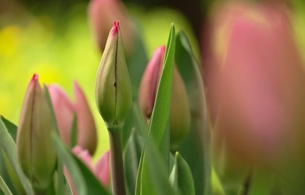 Картинка цветы, весна, тюльпаны, розовые, бутоны