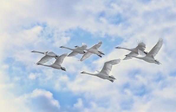 Картинка небо, облака, полет, птицы, лебеди