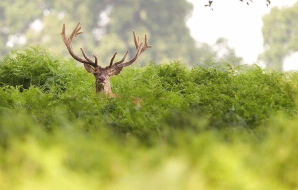 Картинка лето, природа, олень