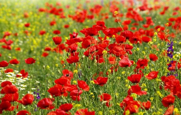 Картинка поле, небо, облака, цветы, маки, ромашки, Природа, полевые цветочки