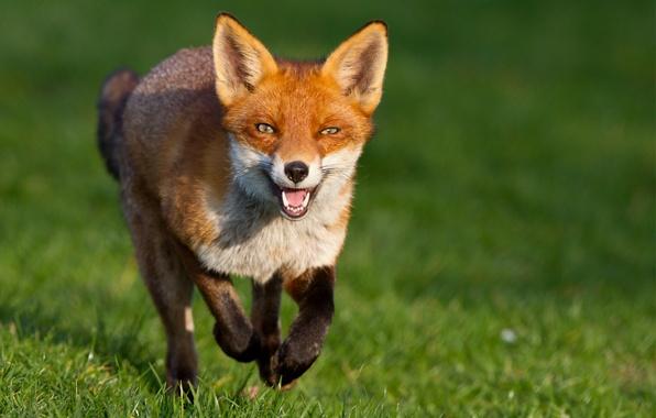 Картинка трава, взгляд, зеленый, фон, мордочка, лиса, Fox, рыжая, бежит, хитрый, лисица