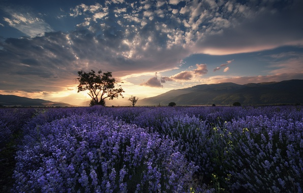 Картинка поле, лето, лаванды