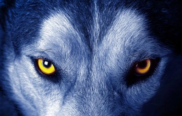 Картинка глаза, взгляд, шерсть, Волк