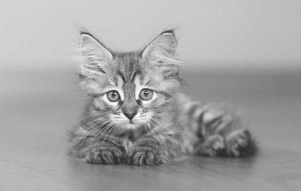 Картинка взгляд, малыш, чёрно-белая, котёнок, монохром, боке