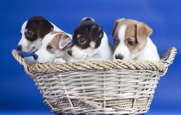 Картинка собаки, корзина, щенки