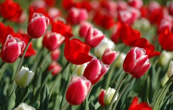Картинка цветы, природа, сад, тюльпаны, flowers, tulips garden