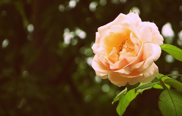 Картинка зелень, цветок, листья, макро, блики, фон, роза, лепестки, бутон