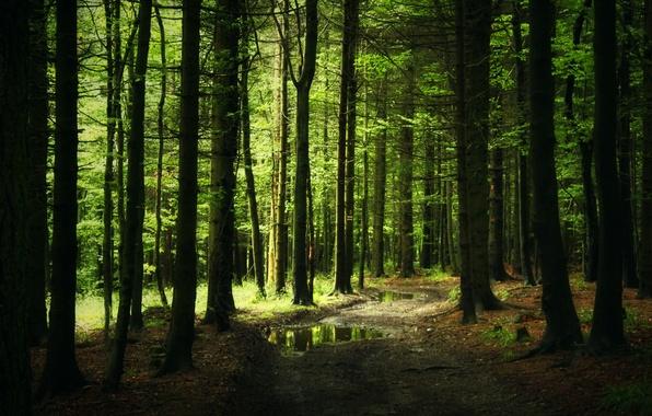 Картинка лес, тропа, чаща, дорожка, лужи, хвоя
