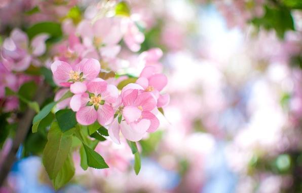 Картинка цветы, ветка, лепестки, размытость, розовые