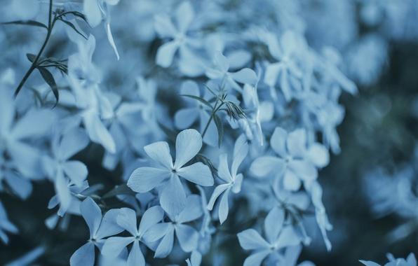 Картинка макро, цветы, голубой, куст, букет, весна, горшок, цветение
