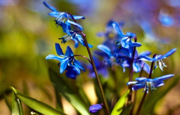 Картинка макро, цветы, синий, весна, подснежники, первоцвет, пролески, Scilla