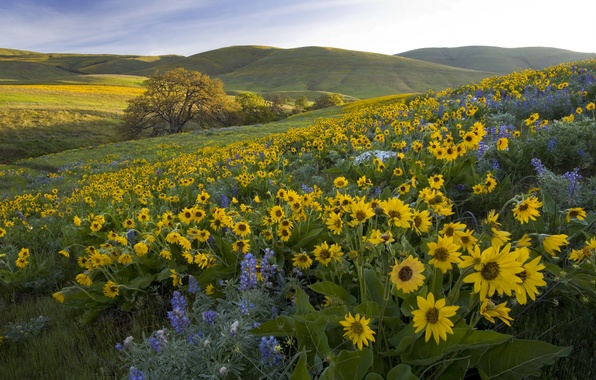 Картинка цветы, холмы, луг, Washington, штат Вашингтон, люпины, бальзамориза, Парк Колумбия Хиллс, Columbia Hills State Park