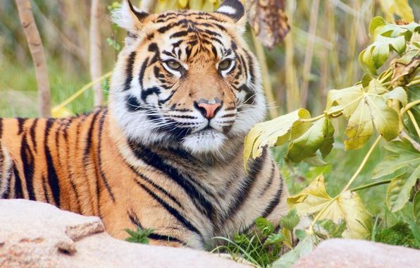 Картинка трава, листья, ветки, природа, тигр, хищник, лежит, полосатый, отдыхает, красавец
