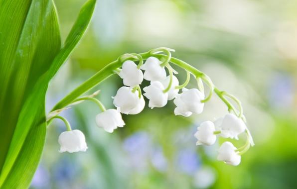 Картинка зелень, макро, свет, цветы, лист, нежность, весна, белые, ландыш