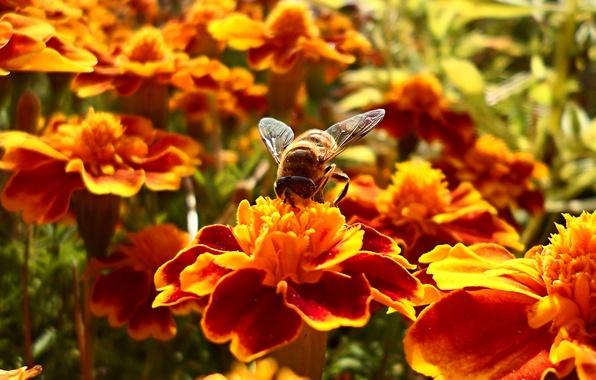 Картинка цветок, лето, цветы, нектар, пчела, боке, bee, wallpaper., доставка, собирает, 5-12секунд, 15минут, в улей, занимает, …