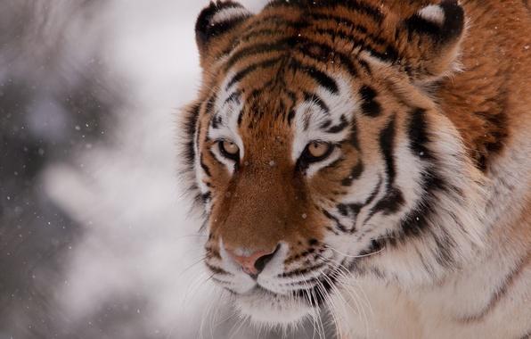 Картинка зима, морда, снег, тигр, дикая кошка
