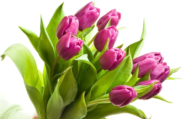 Тюльпаны фиолетовые букет обои фото