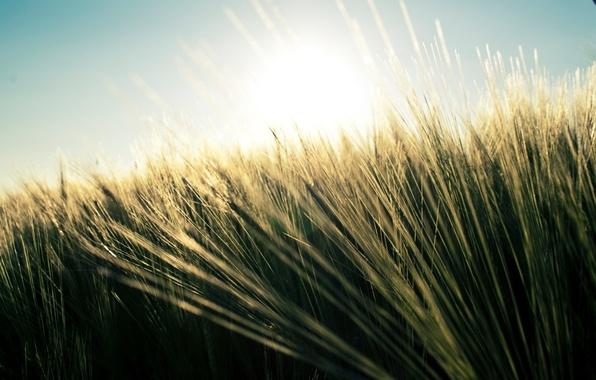 Картинка пшеница, поле, лето, трава, природа, растения, небо nature, fields