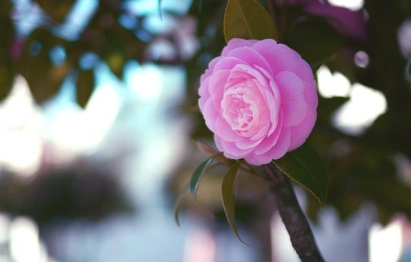 Картинка цветок, листья, макро, розовая, ветка, Камелия
