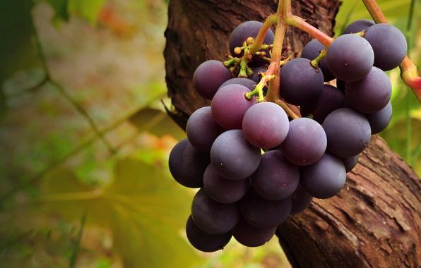 Картинка макро, дерево, еда, ветка, фрукт, виноград, гроздь, кисть, fruit, лоза, grapes