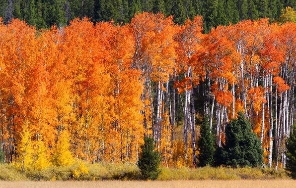Картинка поле, осень, лес, трава, деревья, березы, солнечно