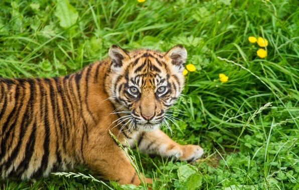 Картинка кошка, трава, взгляд, тигр, детёныш, котёнок, тигрёнок, суматранский