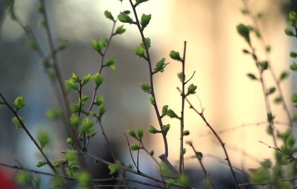Картинка зелень, листья, макро, ветки, куст, весна, почки