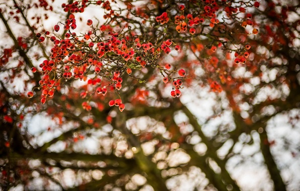 Картинка природа, ягоды, дерево