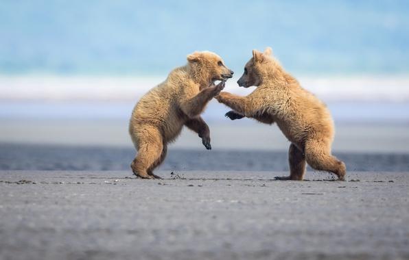 Картинка игра, борьба, драка, пара, медвежата, парочка