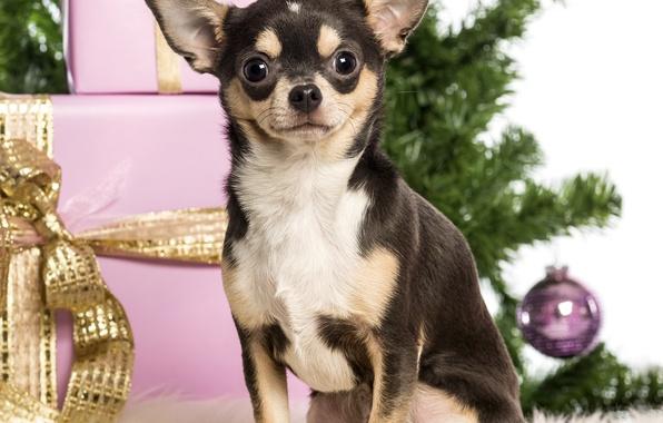 Картинка собака, подарки, Новый год, ёлка, коробки, Чихуахуа