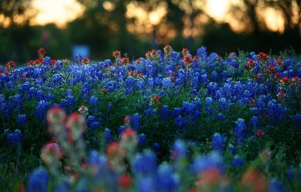 Картинка макро, природа, поляна, Цветы, вечер, размытость, красные, синие