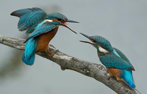Картинка птицы, две, ветка, зимородок, ссора