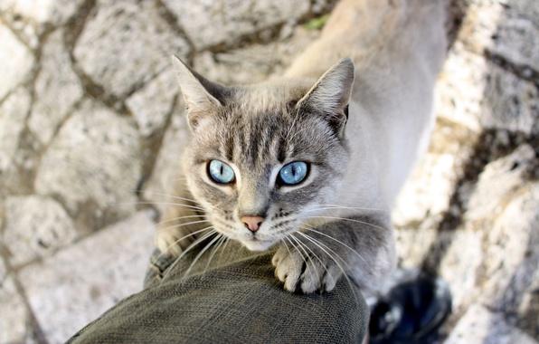 Картинка взгляд, шерсть, Кот, штанина