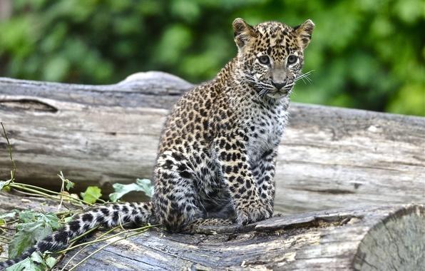 Обои леопард, детеныш, пятна картинки ...: https://www.goodfon.ru/wallpaper/leopard-detenysh-pyatna.html