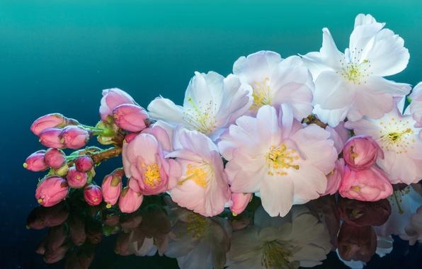 Картинка макро, вишня, отражение, ветка, цветение, цветки, бутончики