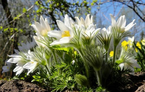 Картинка макро, весна, сон-трава, анемон