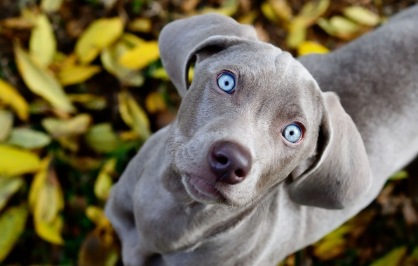 Картинка глаза, взгляд, листва, собака, голубые, смотрит, weimaraner