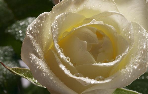 Картинка капли, цветы, роса, роза, лепестки, бутон, белая