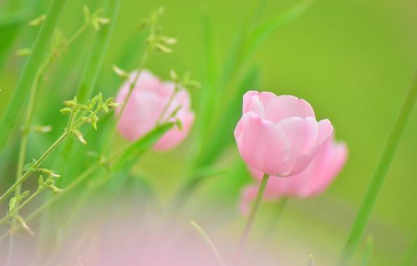 Картинка зелень, цветок, макро, зеленый, розовый, цвет, тюльпан, растения, весна, размытость, бутон