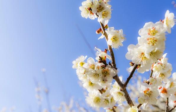 Картинка небо, цветы, ветки, весна, сад
